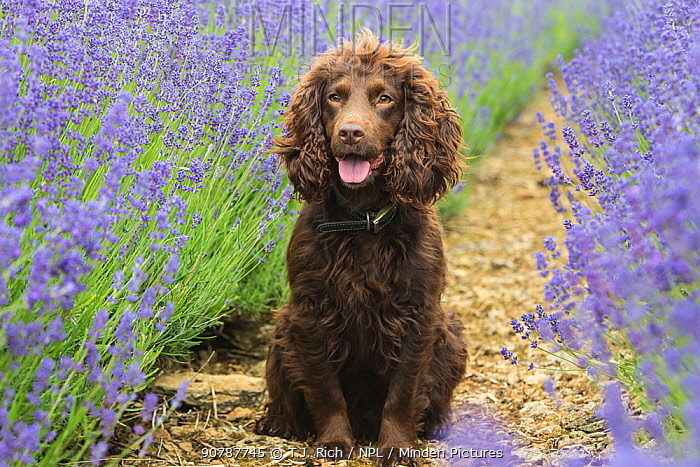 Chocolate working cocker spaniel portrait sitting in lavender fields, Gloucestershire, UK