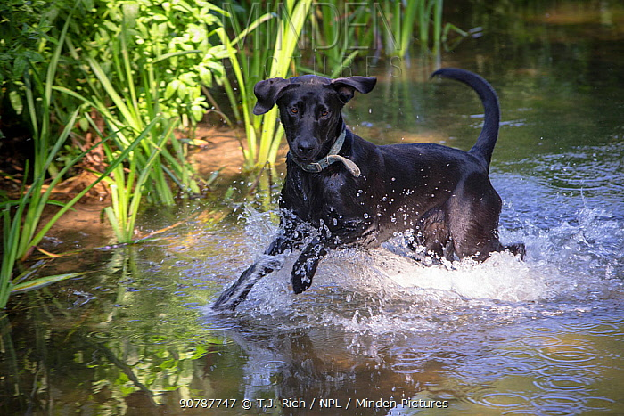 Black Labrador playing in river, Wiltshire, UK