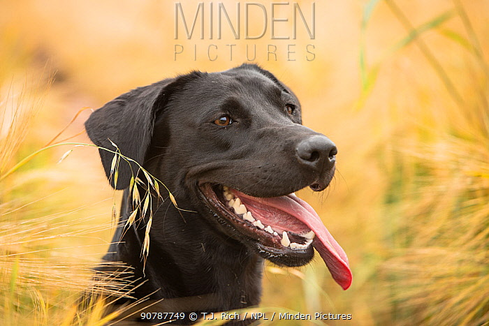 Black Labrador retriever portrait in barley field, Wiltshire, UK