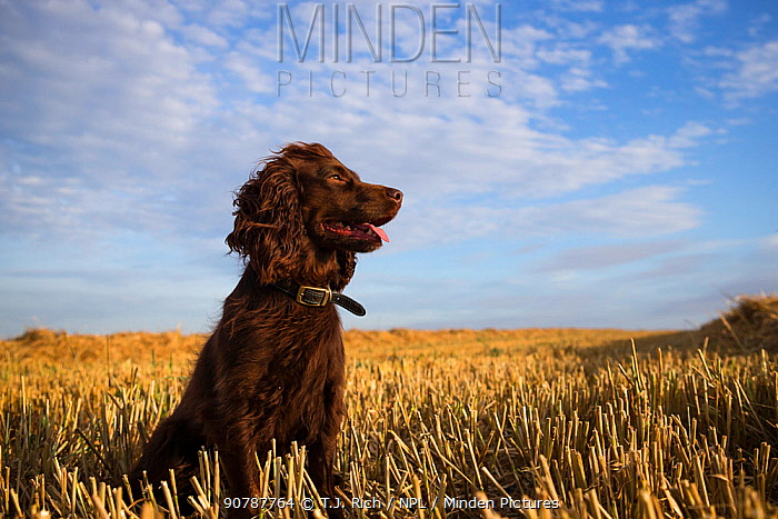 Chocolate working cocker spaniel sitting among field stubble with blue sky and clouds, Wiltshire, UK