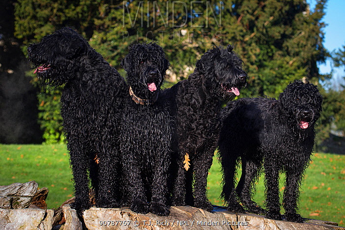 Four Black Russian terriers standing on tree stump, Wiltshire, UK