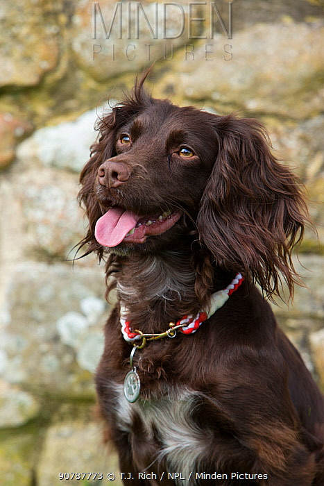 Working cocker spaniel portrait, with collar and tag, Wiltshire, UK