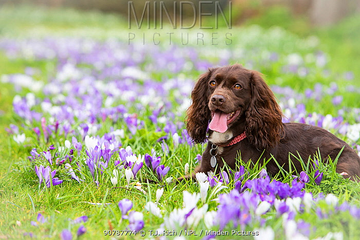 Chocolate working cocker spaniel resting among crocuses, Wiltshire, UK