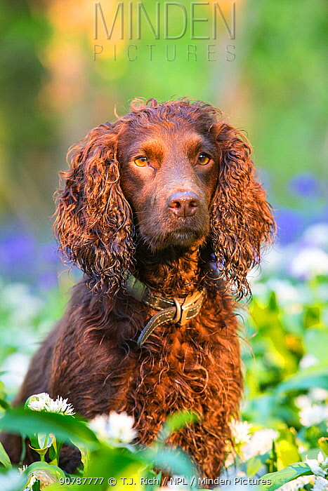 Chocolate Working Cocker Spaniel sitting among Wild Garlic (Ramsons) and Bluebells, Wiltshire, UK