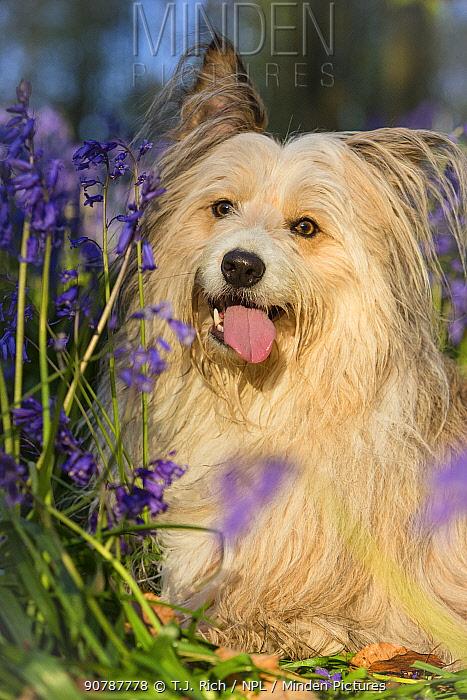 Collie cross dog portrait among bluebells, Wiltshire , UK