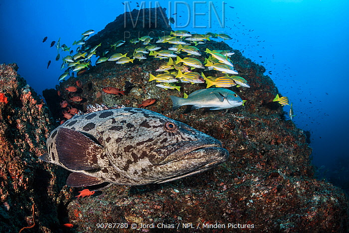 Potato cod (Epinephelus tukula) with school Blueline snappers (Lutjanus kasmira) Tofo Coast,  Mozambique, Indian Ocean. South-East Coast.