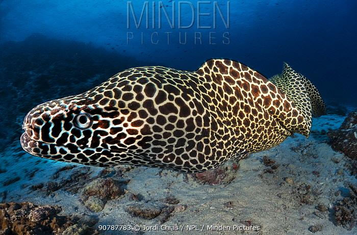 Laced moray (Gymnothorax favagineus), Ari atoll, Maldives islands, Indian Ocean.