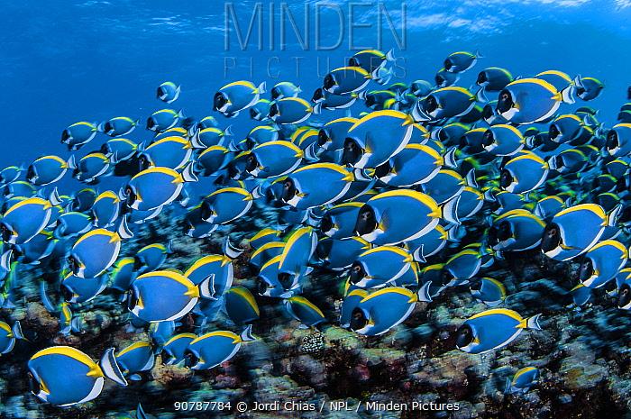 Powder blue surgeonfish (Acanthurus leucosternon) Denis island, Seychelles, Indian Ocean