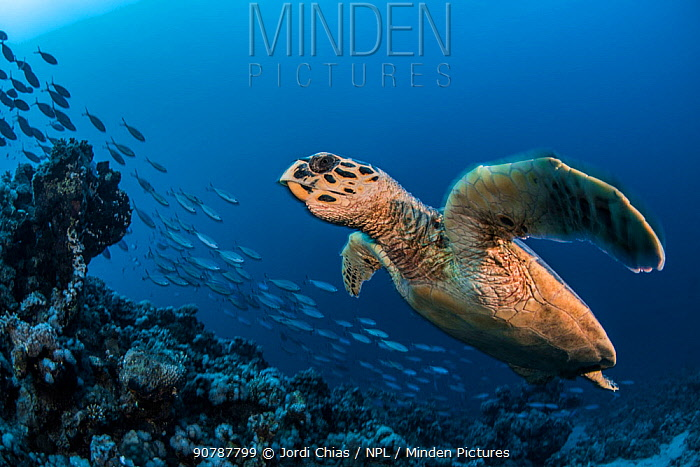 Hawksbill turtle (Eretmochelys imbricata)  Port El Ghalib,  Egypt,  Red Sea.