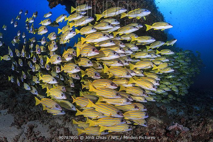 School blueline snappers (Lutjanus kasmira) South Ari Atoll, Maldives, Indian Ocean.