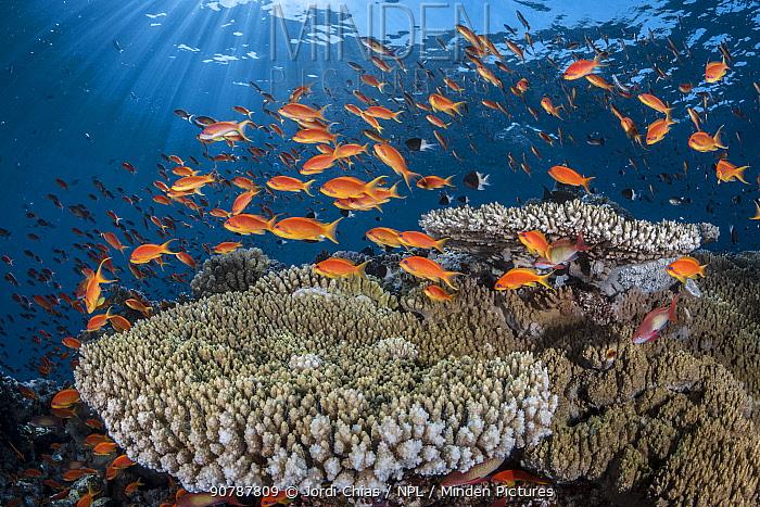 Orange scalefin anthias (Pseudanthias squamipinnis) on  table coral (Acropora sp.) Safaga, Egypt, Red Sea.