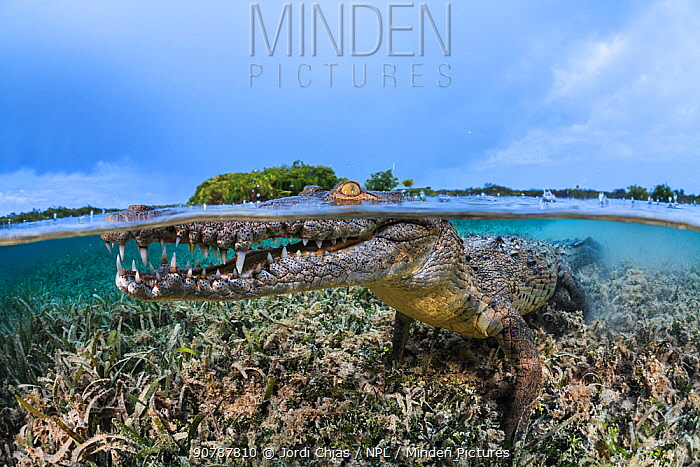 Split level image of American crocodile (Crocodylus acutus) in shallow sea grass meadow, close to mangroves. Jardines de la Reina, Gardens of the Queen National Park, Cuba. Caribbean Sea.