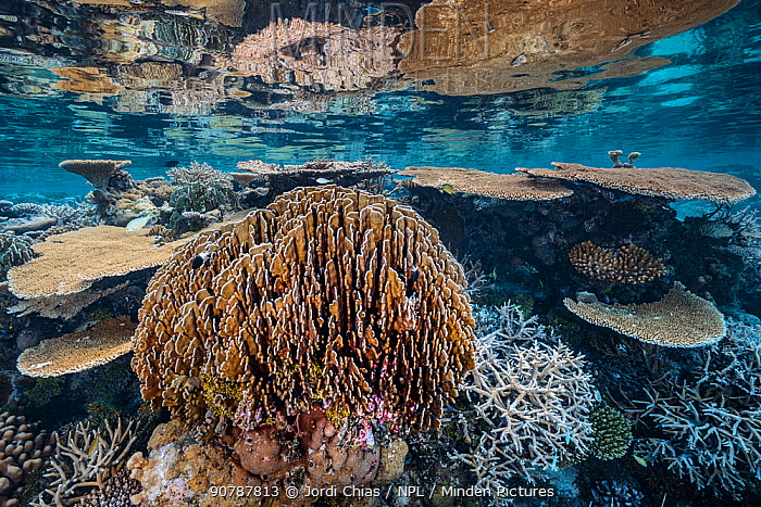 Table corals reef in shallow waters,Gaafu Alifu Atoll, Maldives, Indian Ocean.
