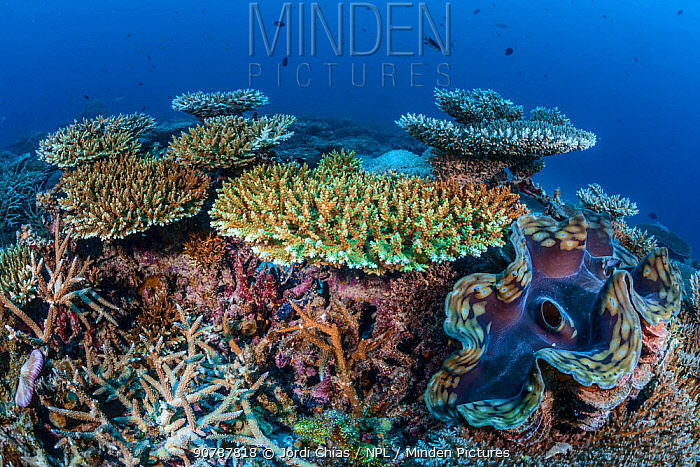 Table coral (Acropora) with Giant clams (Tridacna gigas) Addu Atoll, Maldives, Indian Ocean.