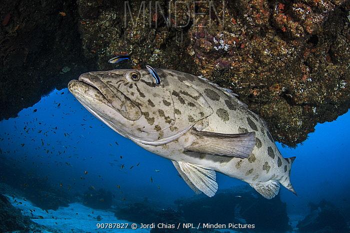 Potato cod (Epinephelus tukula) Pomene Coast, South Mozambique, Indian Ocean, South-East Coast.