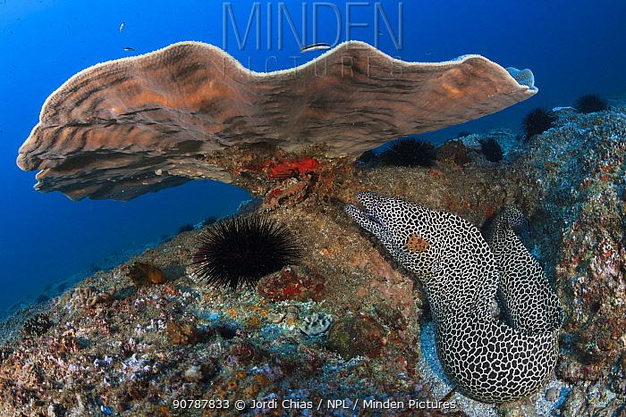 Honeycomb moray eel (Gymnothorax favagineus) under coral, Mozambique