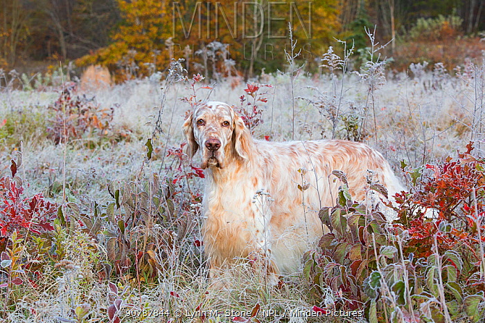 English setter in early morning frost, Connecticut, USA.