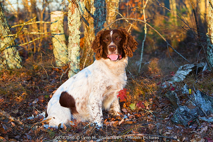 English springer spaniel male in early morning frost, Connecticut, USA, November.