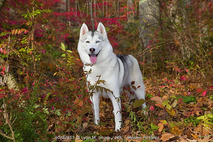 Siberian husky, Connecticut, USA.