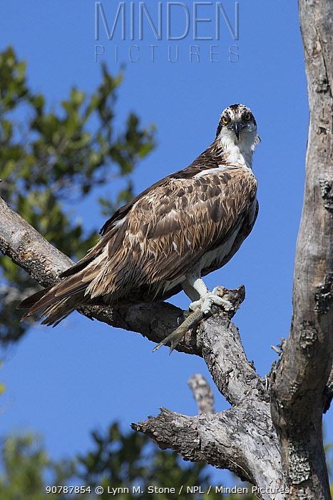 Osprey (Pandion haliaetus) eating a freshly caught fish, Tampa Bay, St. Petersburg, Florida, USA.