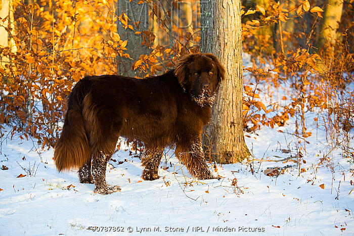 Newfoundland dog, young male in snow, Connecticut, USA.