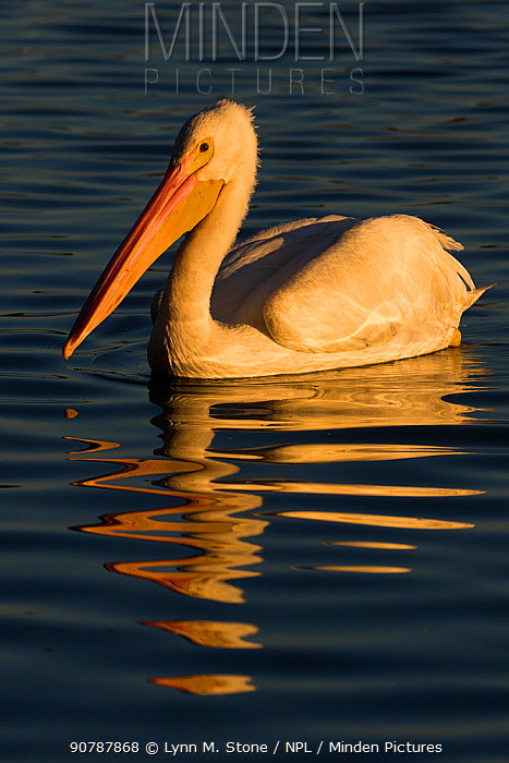 American white pelican (Pelecanus erythrorhynchos) swimming along lakeshore, Lakeland, Florida, USA. December.
