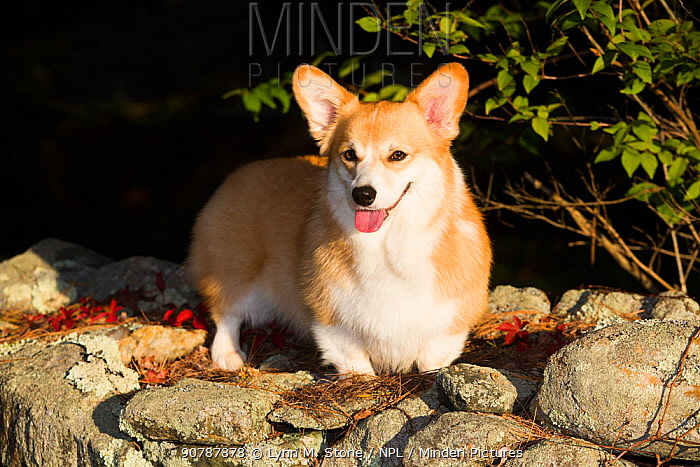 Corgi in autumn on stone wall, Topsmead State Forest, Connecticut, USA.