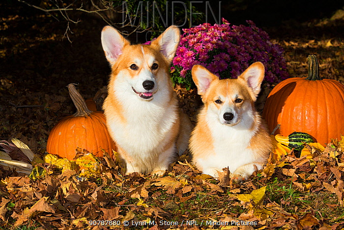 Corgis with pumpkins, gourds in leaves, Connecticut, USA.