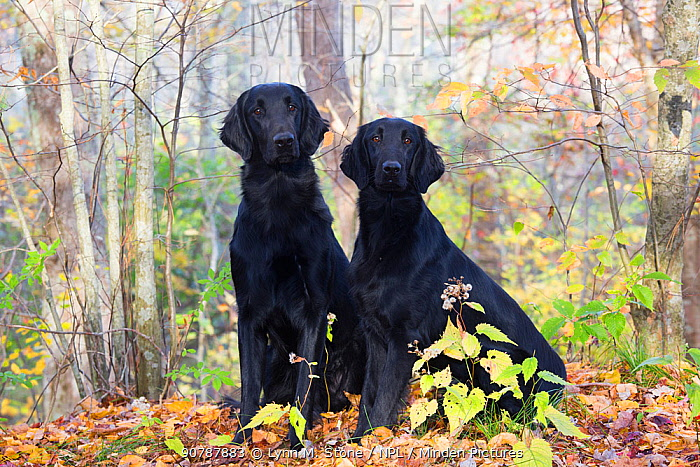 Flat-coated retrievers, East Haddam, Connecticut, USA.