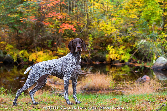 German Shorthair Pointer by brook in autumn, East Haddam, Connecticut, USA.
