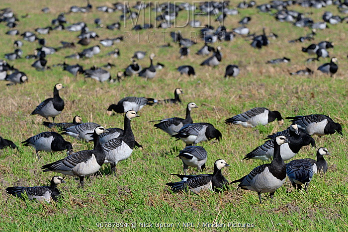 Barnacle goose (Branta leucopsis) migrant flock grazing a fallow arable field in Matsalu National Park, Estonia, September.