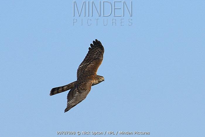 Juvenile Sparowhawk (Accipiter nisus) in flight, Matsalu National Park, Haeska, Estonia, September.