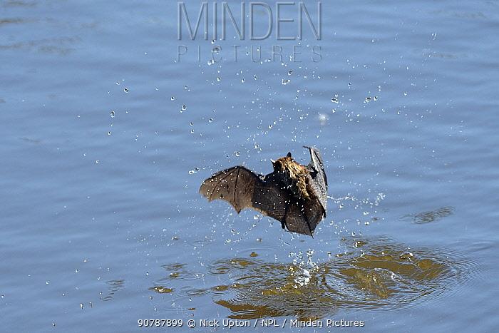 Daubenton's bat (Myotis daubentonii) migrant hunting in daylight for insects on water surface of a tidal creek, Matsalu Bay, Haeska, Estonia, September.