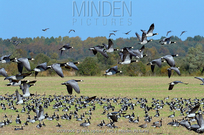 Barnacle goose (Branta leucopsis) migrant flock in flight, with many more grazing a fallow field, Matsalu National Park, Estonia, September.
