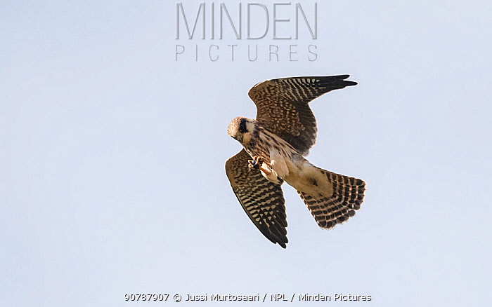 Red-footed falcon (Falco vespertinus), juvenile in flight catching a beetle, Finland, September