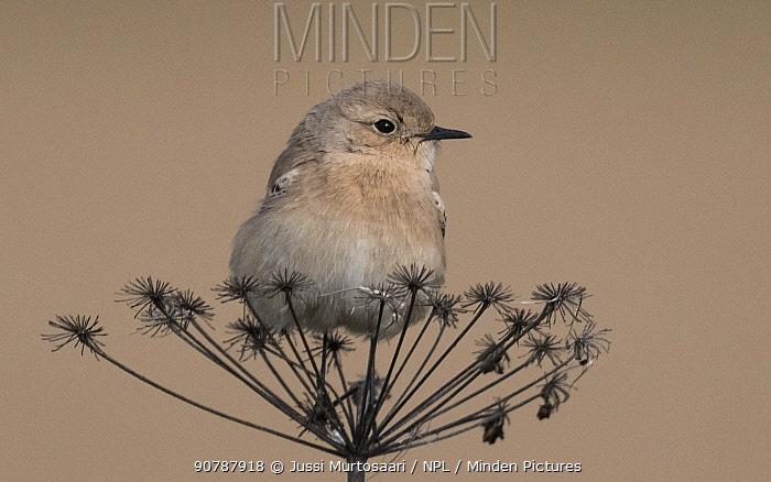 Desert wheatear (Oenanthe deserti), female, Finland, October. Vagrant bird.