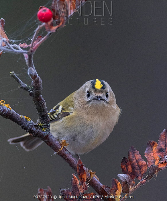Goldcrest (Regulus regulus),  Finland, September