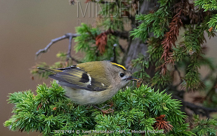 Goldcrest (Regulus regulus) with insect prey, Finland, September