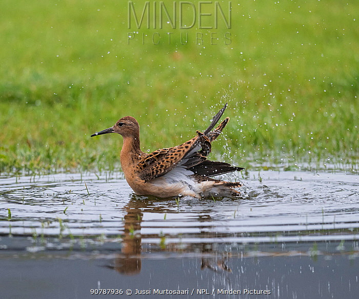 Ruff (Calidris pugnax), female bathing, Finland, September