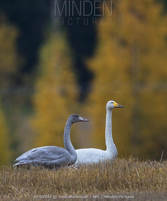 Whooper swan (Cygnus cygnus), adult and juvenile, Finland, October.