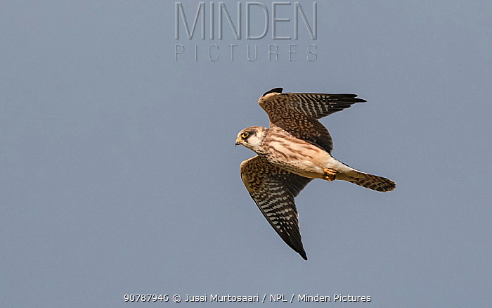 Red-footed falcon (Falco vespertinus), juvenile in flight, Finland, September