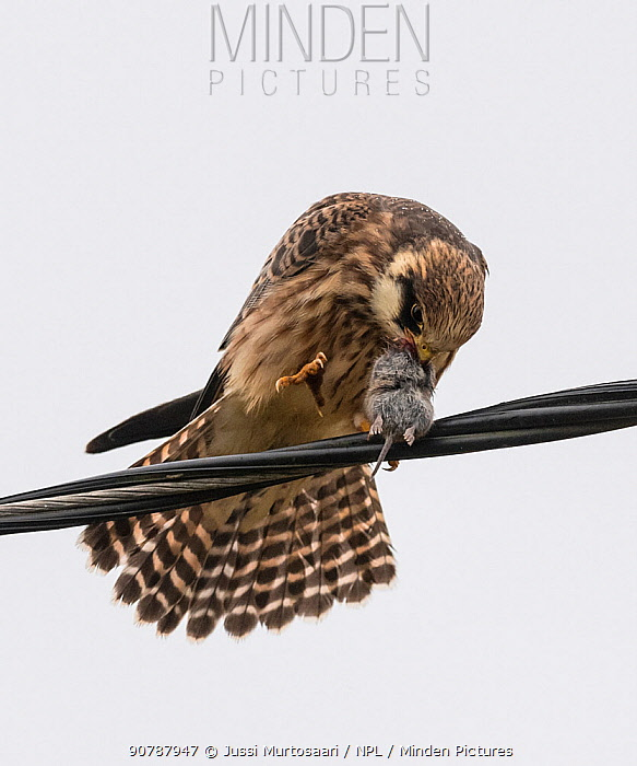 Red-footed falcon (Falco vespertinus), juvenile with rodent prey,Finland, September