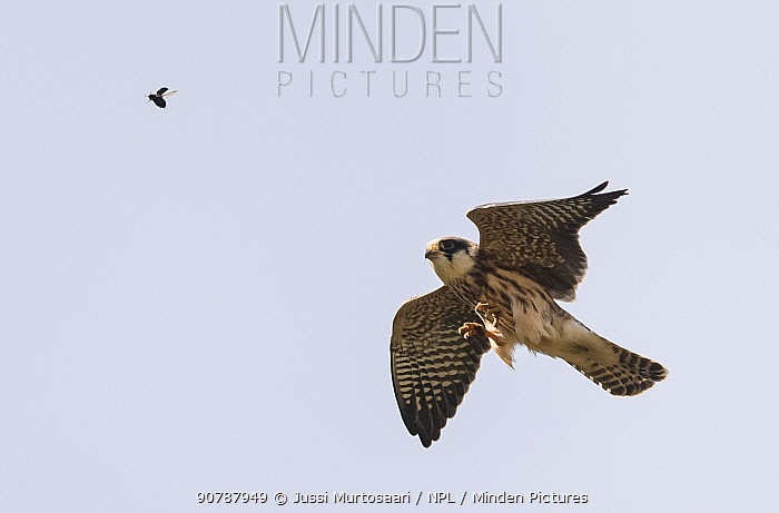 Red-footed falcon (Falco vespertinus), juvenile catching a diving beetle, Finland, September