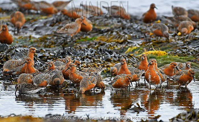 Flock of Red Knot (Calidris canutus) resting and feeding  whilst migrating to their breeding grounds farther north. Ekkeroy, Varanger fjord, Finnmark, Norway