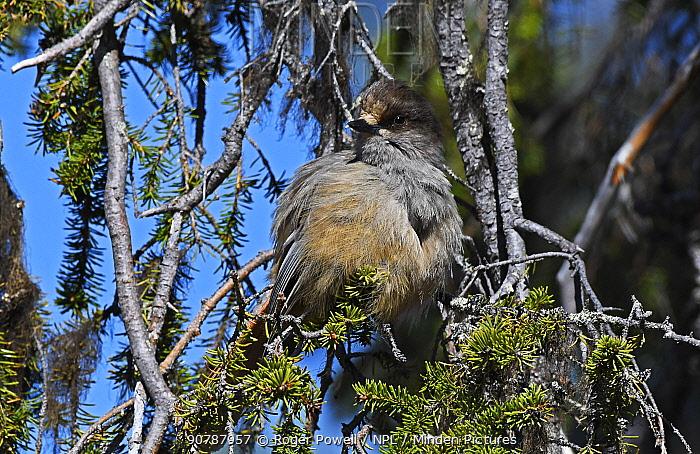 Siberian jay (Perisoreus infaustus) juvenile resting in a Scots Pine. Pokka, Inari, Finnish Lapland, Finland. June.