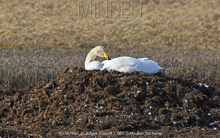 Whooper swan (Cygnus cygnus) incubating on its nest. Langbuness, Finnmark, Varanger fjord, Norway, May.