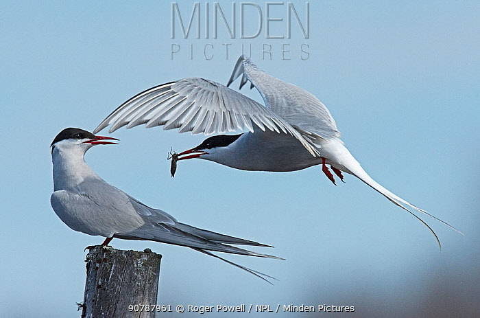 Arctic Tern (Sterna paradisaea) male courtship feeding female with a dragonfly nymph. Karigasniemi, Finnish Lapland, Finland, June.