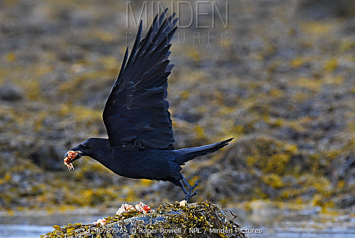 Common raven (Corvus corax) flying off with food scavenged at the tideline. Langbuness, Varanger fjord, Finnmark, Norway, May.