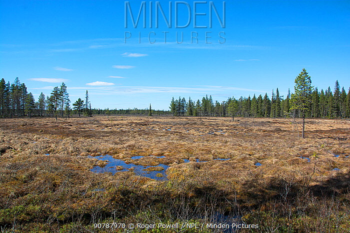 Bog, breeding habitat for Wood sandpipers (Tringa glareola) Kaalimaa, Pokka, Inari, Finnish Lapland,