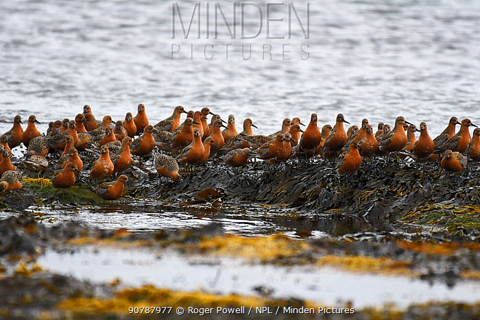 Flock of Red Knot (Calidris canutus) resting and feeding whilst migrating to their breeding grounds farther north. Ekkeroy, Varanger fjord, Finnmark, Norway, May.